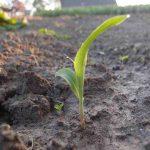 Popcornmais selber anbauen - das Wachstum